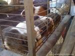 Animais na Fazenda da Comadre (amplie)